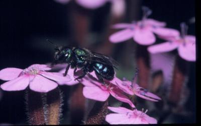 Pollinator-1 Blackberry