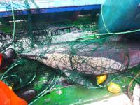 Common Dolphin Caught in a Fishing Net