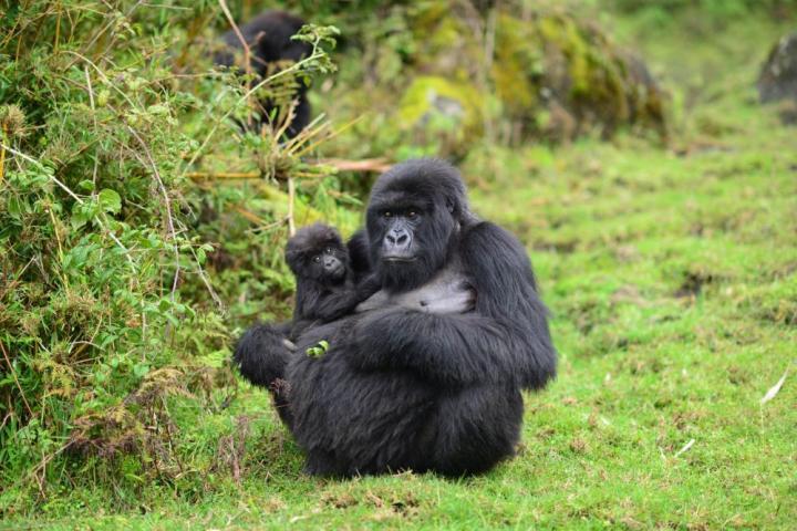 Social status, not size, determines reproductive success for female mountain gorillas