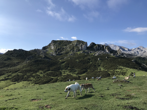 Livestock guardian dogs in hills