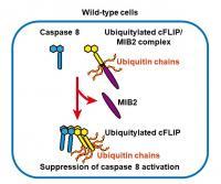 Fig.1 MIB2 blocks caspase 8 activation through ubiquitylation of cFLIP