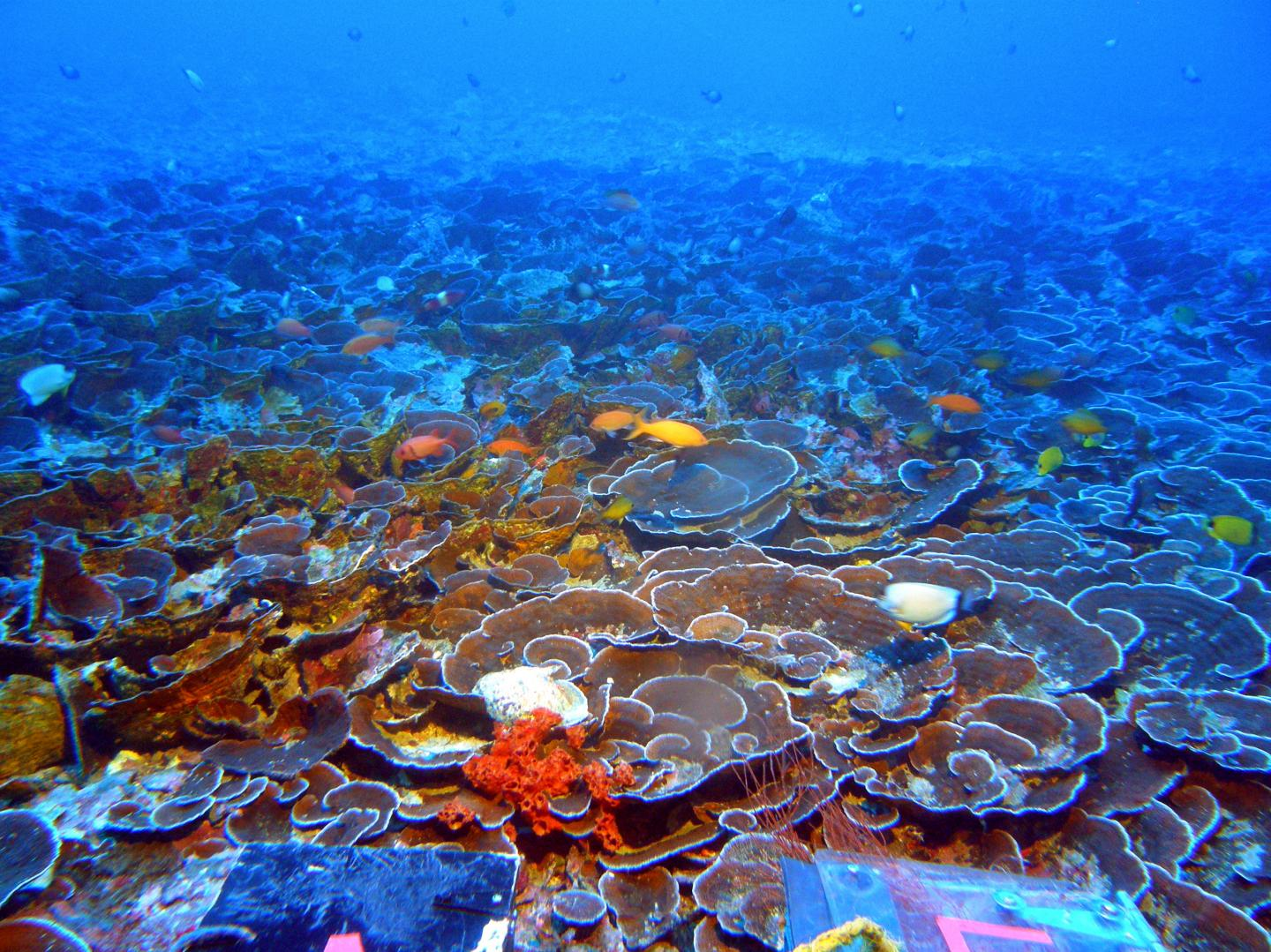 Mosophotic Coral Ecosystem at 70m