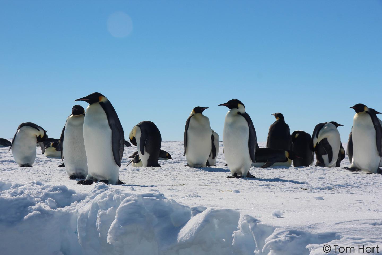 Gould Bay Emperor Penguins