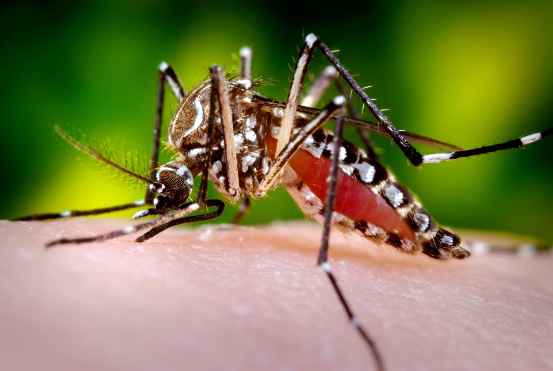 <i>Aedes aegypti</i> Mosquito