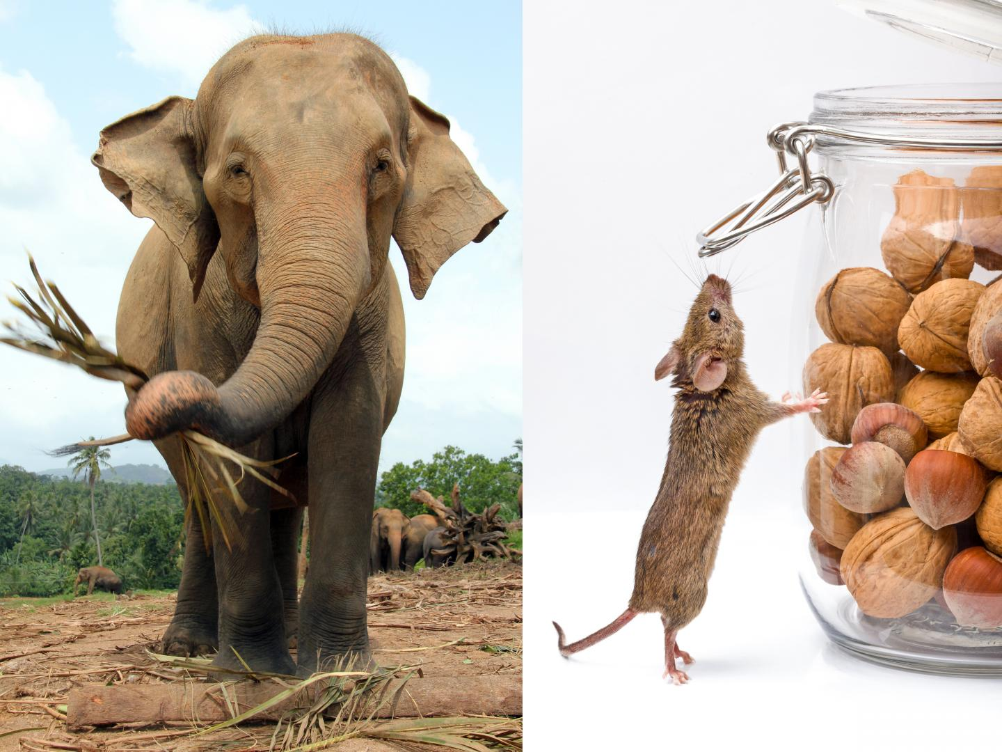 Asian Elephant And House Mouse
