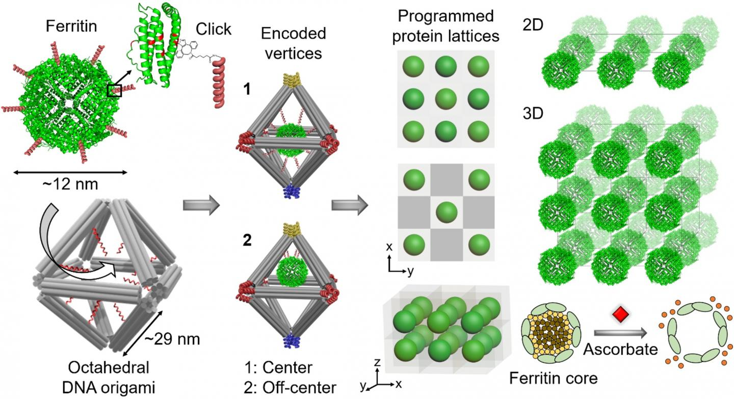 Illustration of DNA Frameworks for Assembling Bioactive Proteins into Ordered 2D and 3D Arrays