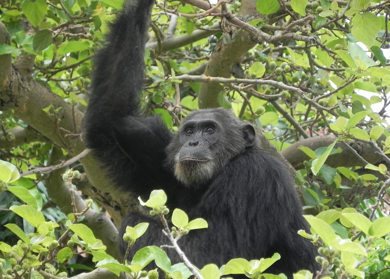 A Wild Chimpanzee in Gombe Stream National Park