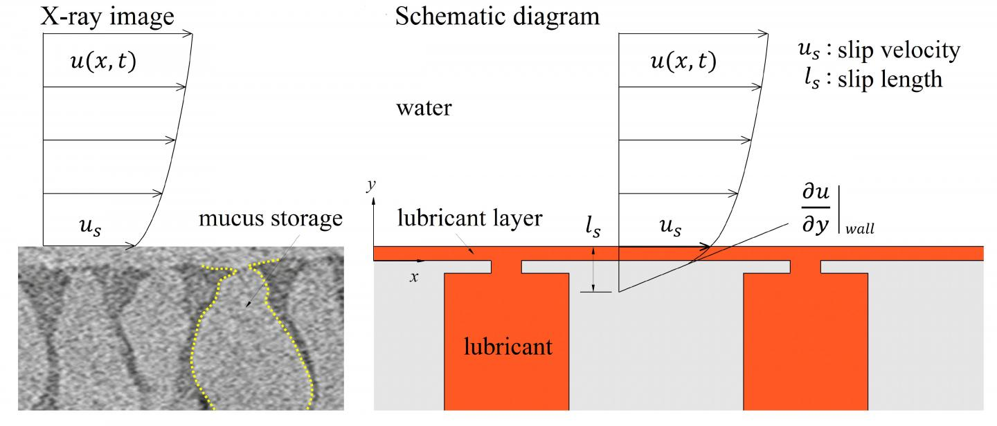 An X-Ray Image of a Loach's Mucus Storage System, and a Schematic Diagram
