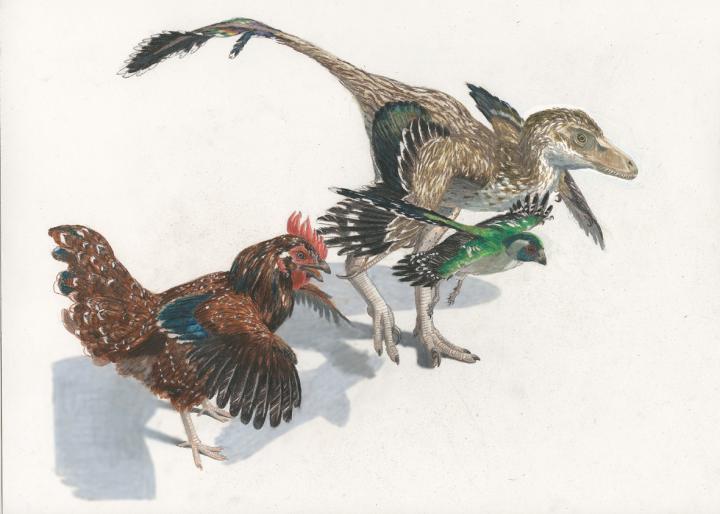 <i>Velociraptor</i>, Cretaceous Bird, and Chicken