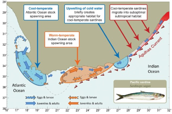 Genomic evidence shows that the spawning area of Sardines in the Sardine Run