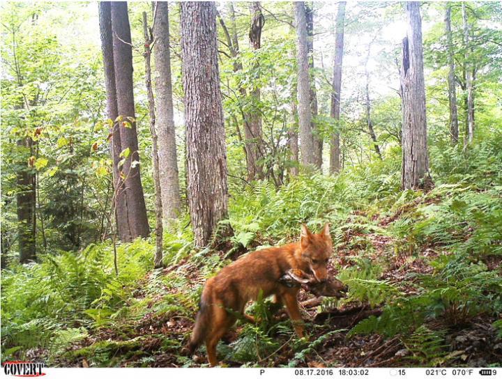 cayote with prey