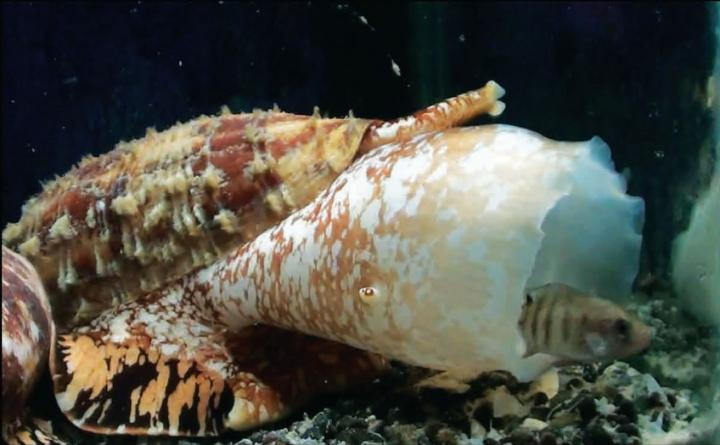 <i>Conus Geographus</i>