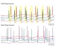 Presence and absence of loose synchronization in Purkinje neurons