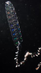 Pyrostephos vanhoeffeni, a siphonophore