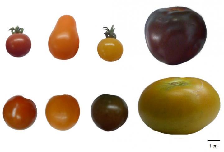 Tomato Genotypes Studied