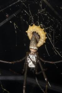 <em>Hymenoepimecis Bicolor</em> Consuming <em>Nephila clavipes</em>