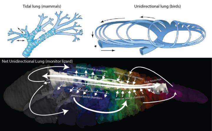 Airflow Patterns in Animals Lungs