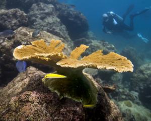 Bred adult elkhorn coral