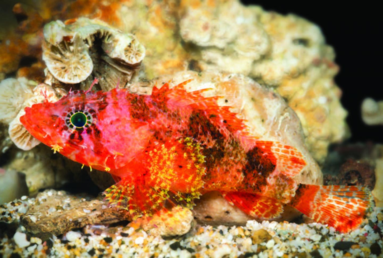 The new Scorpionfish