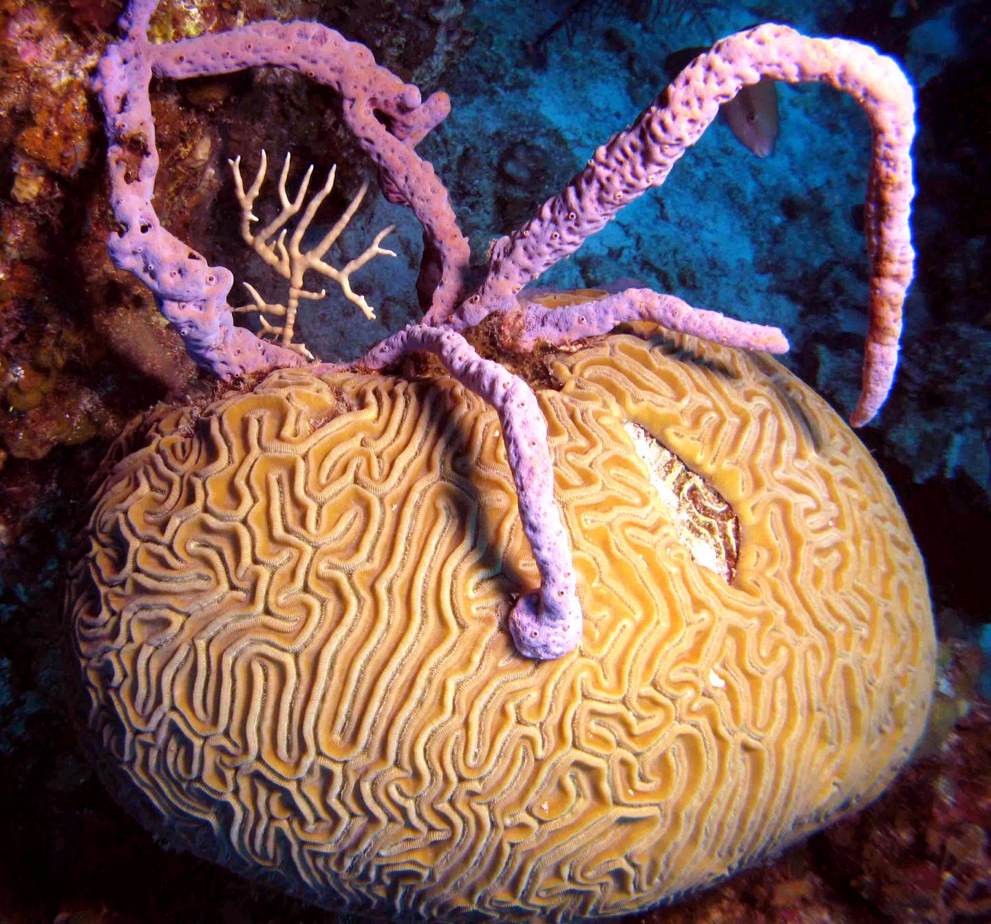 Brain Coral Overgrown and Smothered by Lavender Branching Sponge