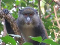 Gombe Hybrid Monkey Project
