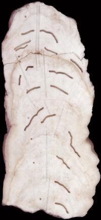 Big Taurius Stalagmite Cross Section