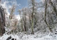 Chilean Temperate Forest in Snow