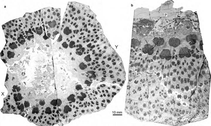 <i>Xinicaulis lignescens</i> from the Upper Devonian of Xinjiang, NW China