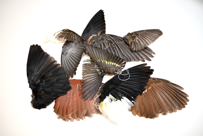 Birds wings from ROM collections.