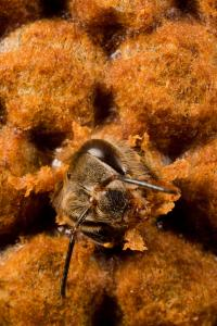 A Bee Baby Immune System is Primed against Disease before Birth