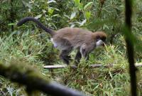 Bale Monkey from Odobullu Continuous Forest of the Bale Mountains