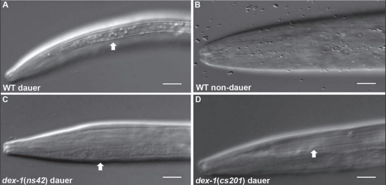 <i>C. elegans</i> Showing Dauer Phase