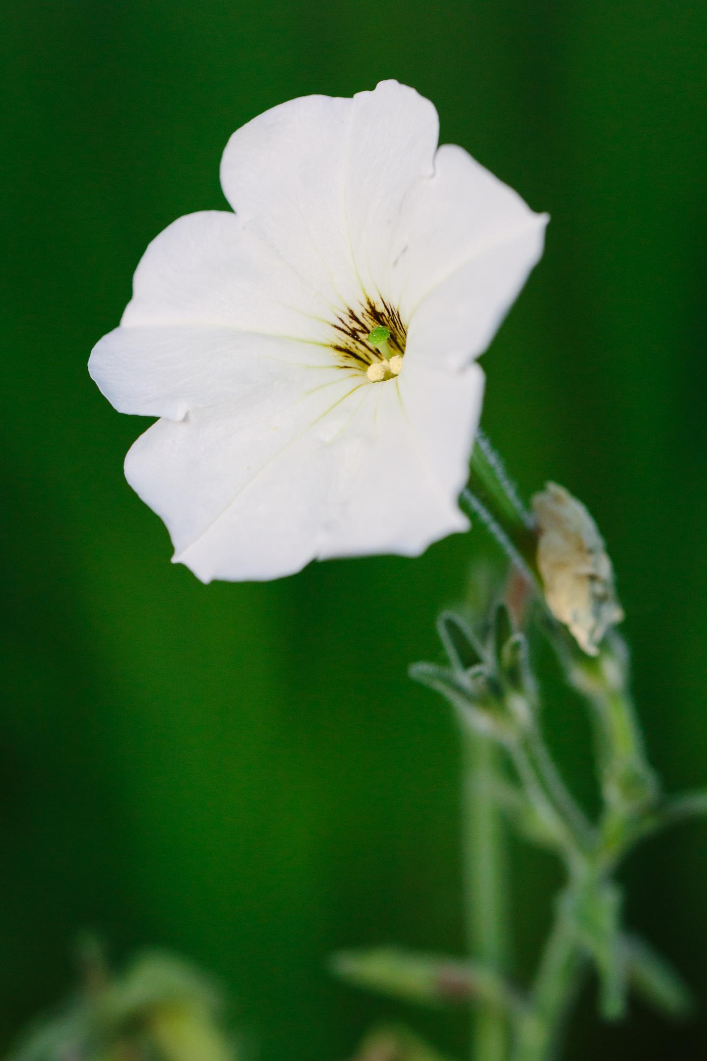 Common Garden Petunia