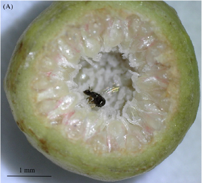 """""""Cheater"""" wasp lays eggs in Ficus microcarpa"""