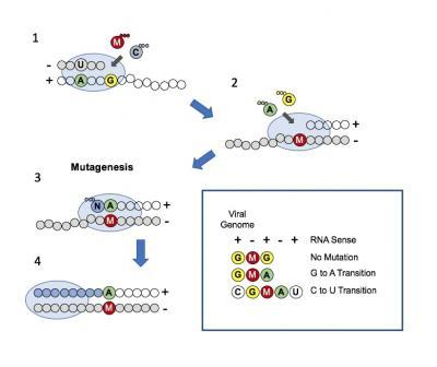 Mutagenesis Model of Molnupiravir