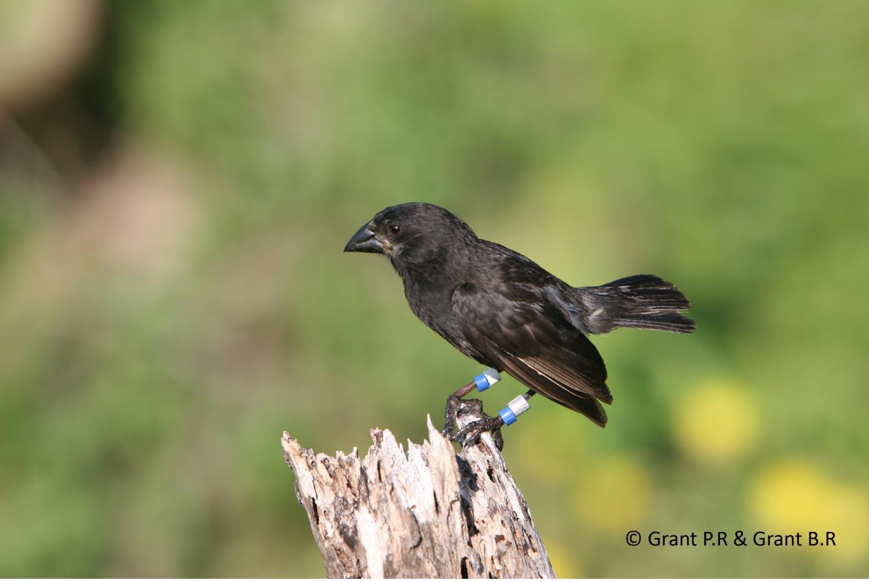 Medium Ground Finch with Its Blunt Beak