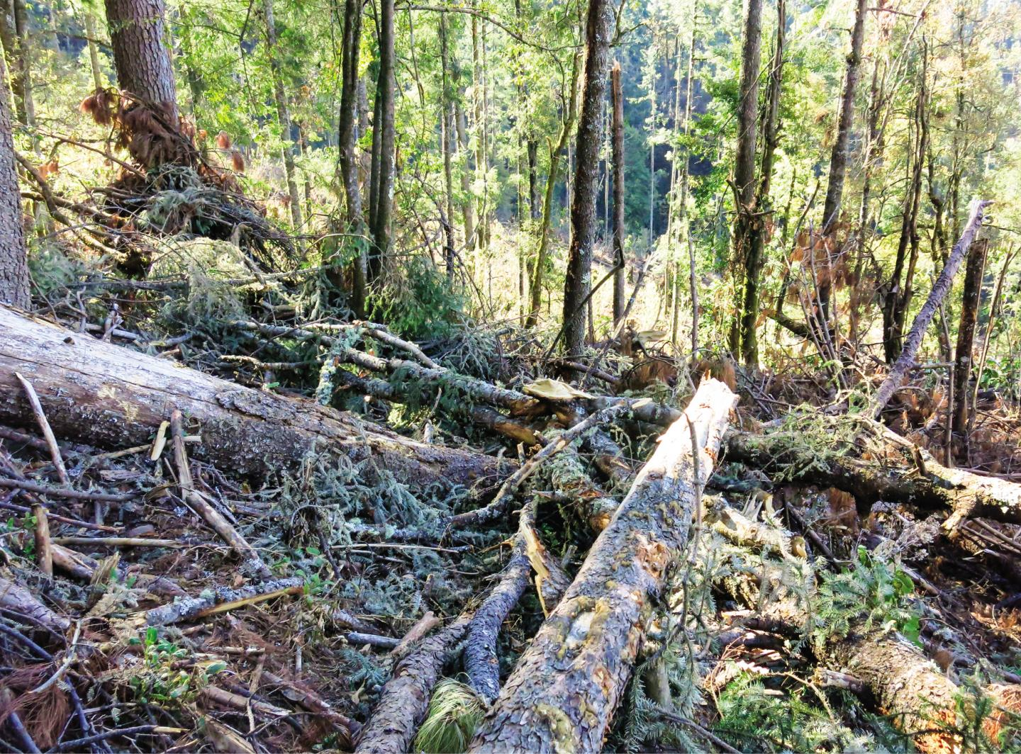 Tangle of Downed Oyamel Firs