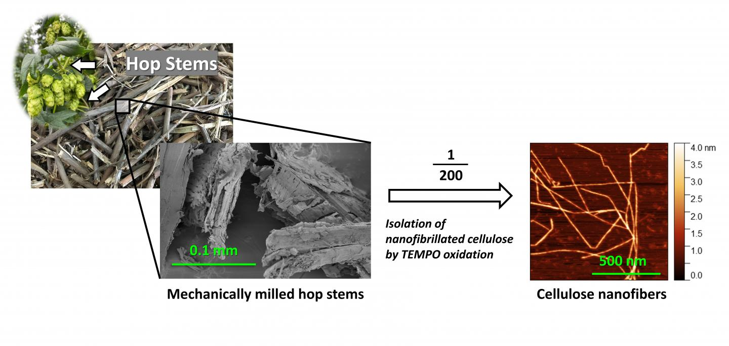 Upcycling of agri-industrial waste hop stems into cellulose nanofibers