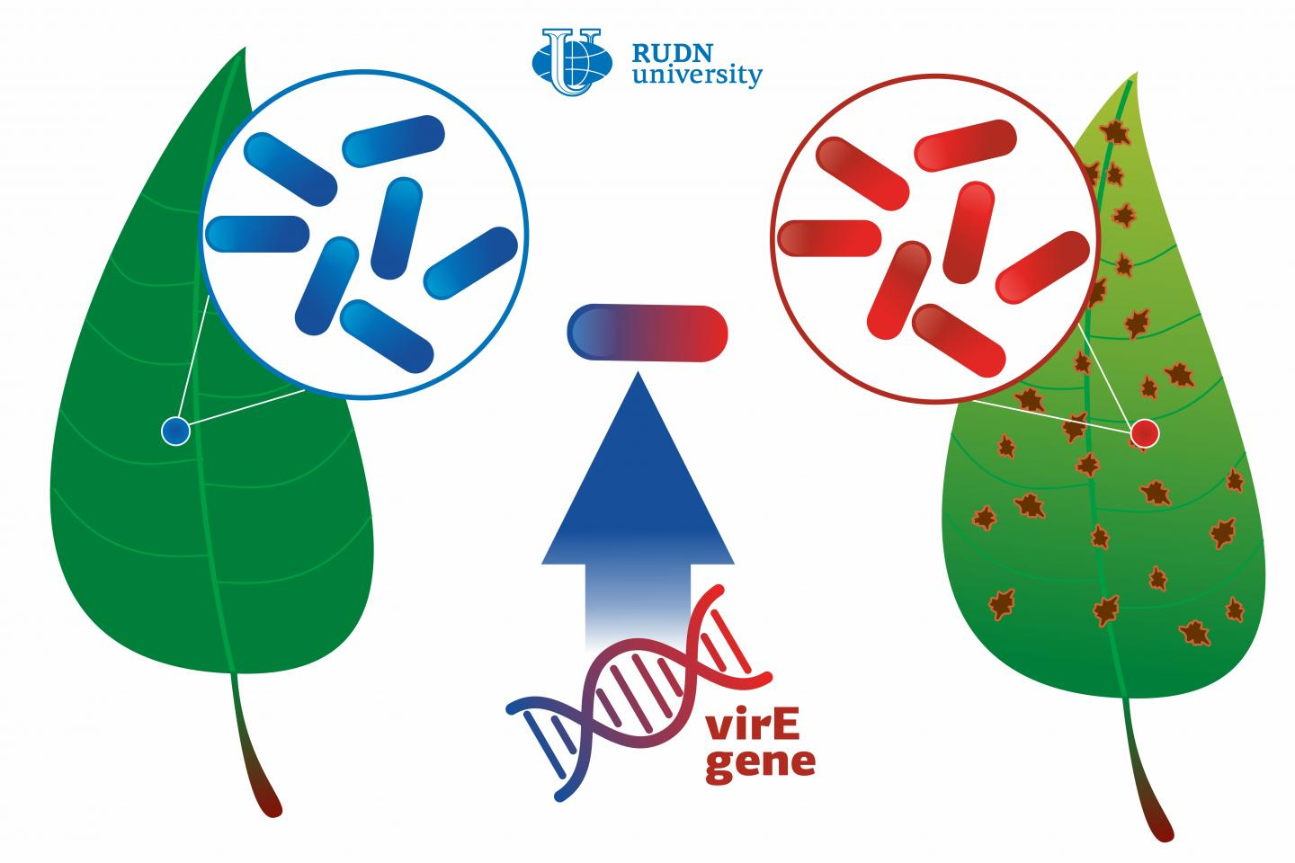 A RUDN University Biologist Described How a Harmless Bacterium Turns into a Phytopathogen