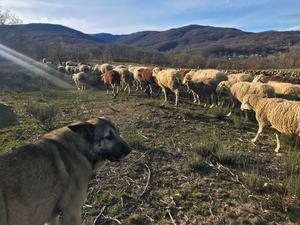 Livestock guardian dog close up