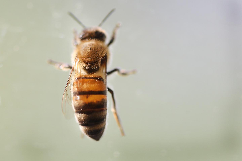 Climate Change Weakens Nutritional Value of Bee Diet