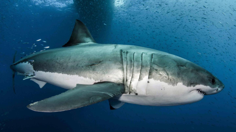 Great White Shark (1 of 2)