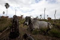 Cattle in Central America