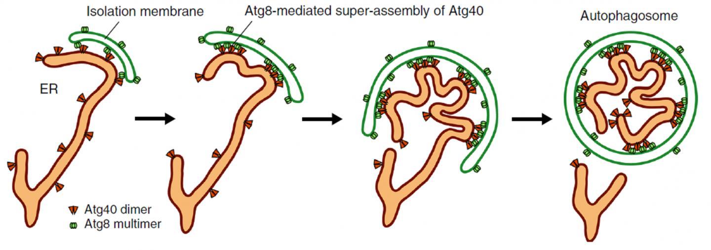 Figure 1. Model for Atg40 action during ER-phagy