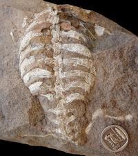 <i>Eunotosaurus africanus</i> Skeleton (2 of 2)