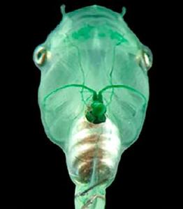Researchers inject algae into tadpole's heart