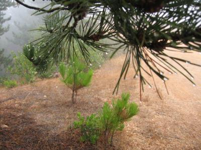 Droplets Caused by Fog Collect on the Needles of This Bishop Pine Tree on Santa Cruz Island