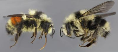 Bumble Bee Color Forms