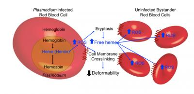 Malaria and Red Blood Cells