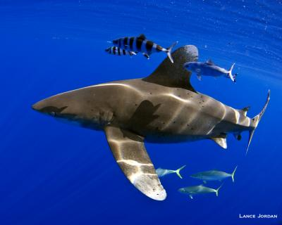 Oceanic Whitetip Shark Swimming in Bahamian Waters with Pilot Fish and Rainbow Runners